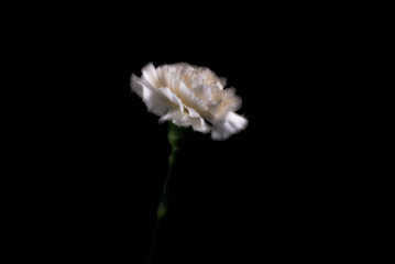 White carnation against black background