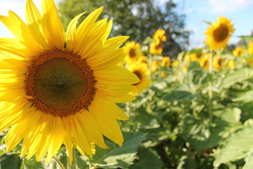 yellow sunflower adorns the sun