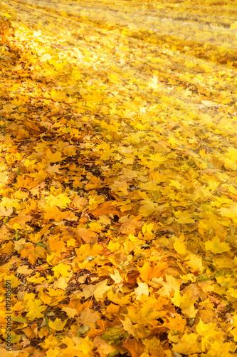 Viele gelbe ahornbl tter liegen auf dem boden imagens e for Boden liegen