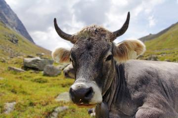 Tiroler Grauvieh im Gebirge