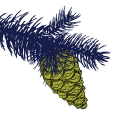 Conifer cone on pine tree branches, pine cone, hand drawing in color pinecone with open scales on branches with needles.