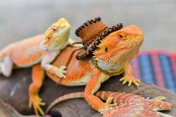 Iguana with spiky skin