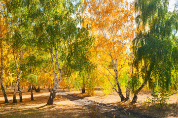 Autumn trees with yellow leaves in the forest.
