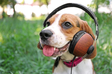 Dog with headphones on green grass background