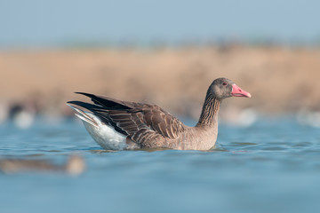 Greylag goose in wildlife