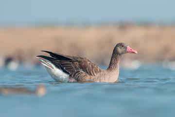 Greylag goose in wildlife