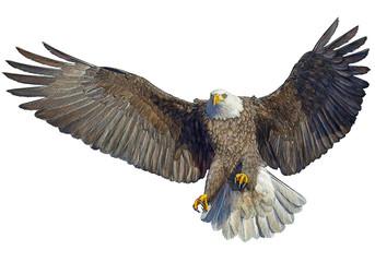 Bald eagle bird flying hand draw on white background vector illustration.