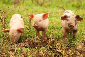 Three little piglets