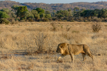 Lion (Panthera leo). Ruaha National Park. Tanzania