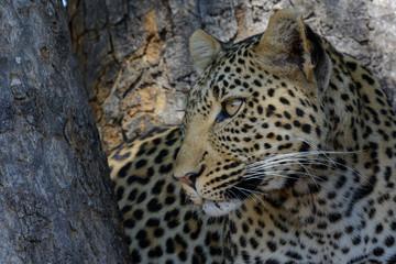 Leopard (Panthera pardus) portrait. Ruaha National Park. Tanzania