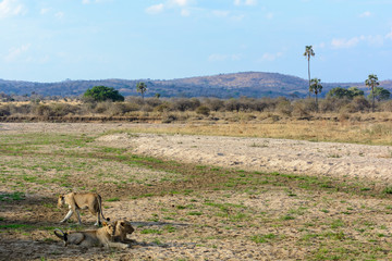 Lion (Panthera leo) in river bed. Ruaha National Park. Tanzania