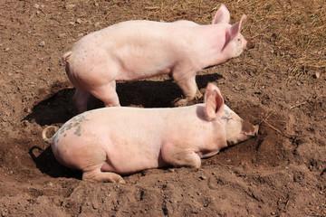 Zwei glückliche Schweine, die die Mittagssonne auf kühler Erde genießen