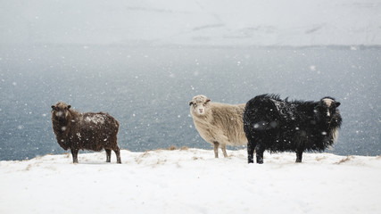 Faroe Islands Sheeps