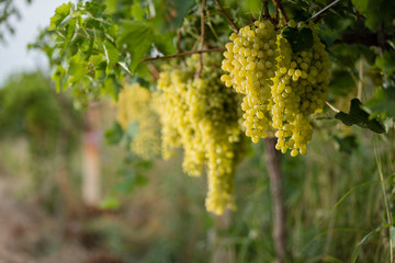 White grape vineyard.