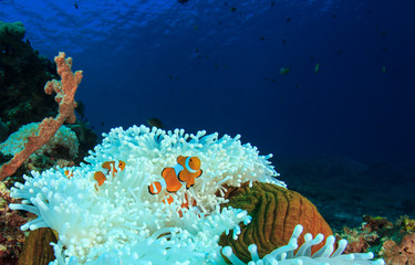 Coral reef and fish. Sea Anemone and Clownfish