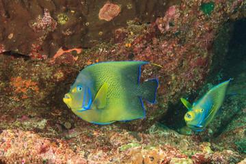 Coral reef fish: Koran Angelfish