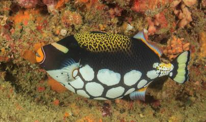 Coral reef fish: Clown Triggerfish