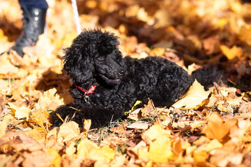 Black poodle in autumn park and woman legs.