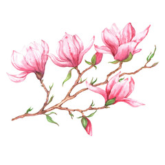 Hand drawn watercolor isolated illustration of pink magnolia branch on the white background