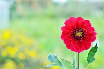 Red dahlia flowers in garden.