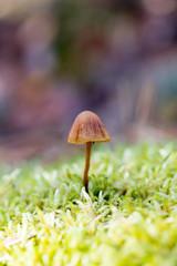 Hallucinogenic mushroom Psilocybe semilanceata
