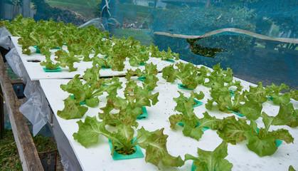 Organic hydroponic vegetable.