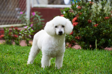 pretty white french poodle