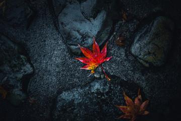 wet japan red maple leaf drop with dark background.