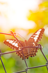 Beautiful Thai Tiger Butterfly Spread Wing Catch with Morning Light view from bottom.