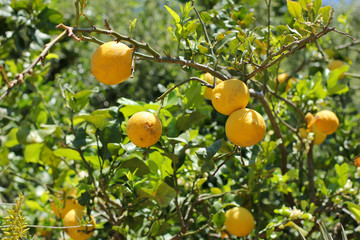 Lemons grow in the garden. Italy, Sardinia.