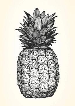 Hand-drawn illustration of Pineapple. Vector