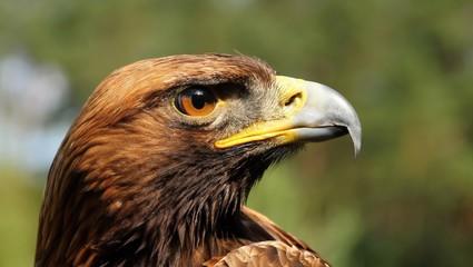 Aquila gurneyi
