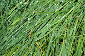 Morning dew on crumpled grass
