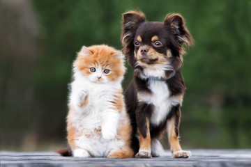adorable fluffy kitten with a chihuahua dog posing outdoors together