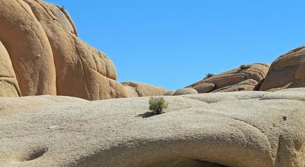 Single Creosote Bush Growing in a Rock Face at Joshua Tree Natio