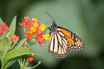 La mariposa Monarca extrae el dulce de las flores.