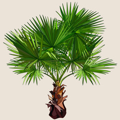 small palm tree with spreading leaves