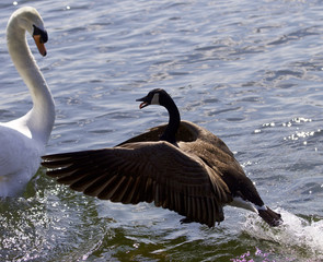Amazing photo of the epic fight between a Canada goose and a swan