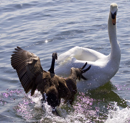 Fantastic amazing photo of a Canada goose attacking a swan on the lake