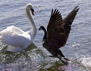 Amazing image of the epic fight between a Canada goose and a swan