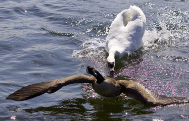 Amazing picture with an angry swan attacking a Canada goose