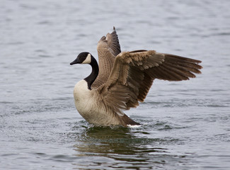 Isolated photo of a Canada goose with the beautiful wings