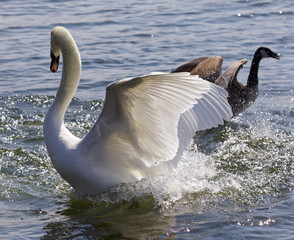 Fantastic contest between the powerful swan and the brave Canada goose