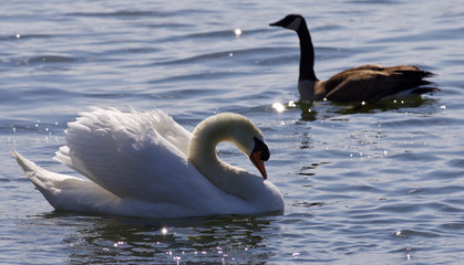 Beautiful isolated photo of the contest between the swan and the Canada goose