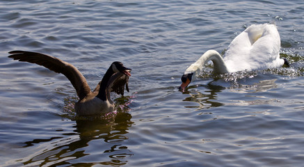 Beautiful isolated photo of the Canada goose running away from the angry swan