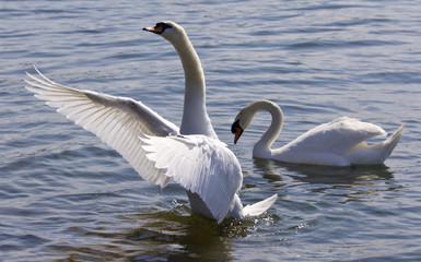Beautiful isolated photo of the swan showing his wings in the lake