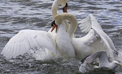 Amazing fight of the swans