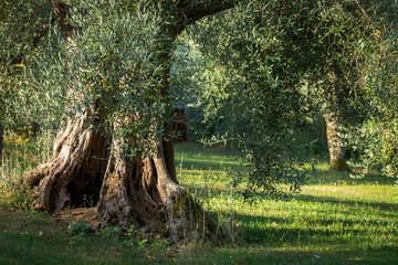 Le large tronc d'un olivier dans un champs