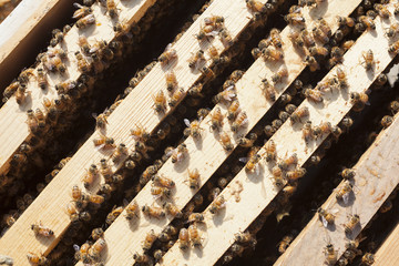 Overhead view of honeybees on wooden frames