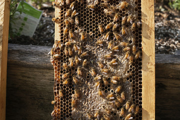 Close-up of honeybees on frame against wood